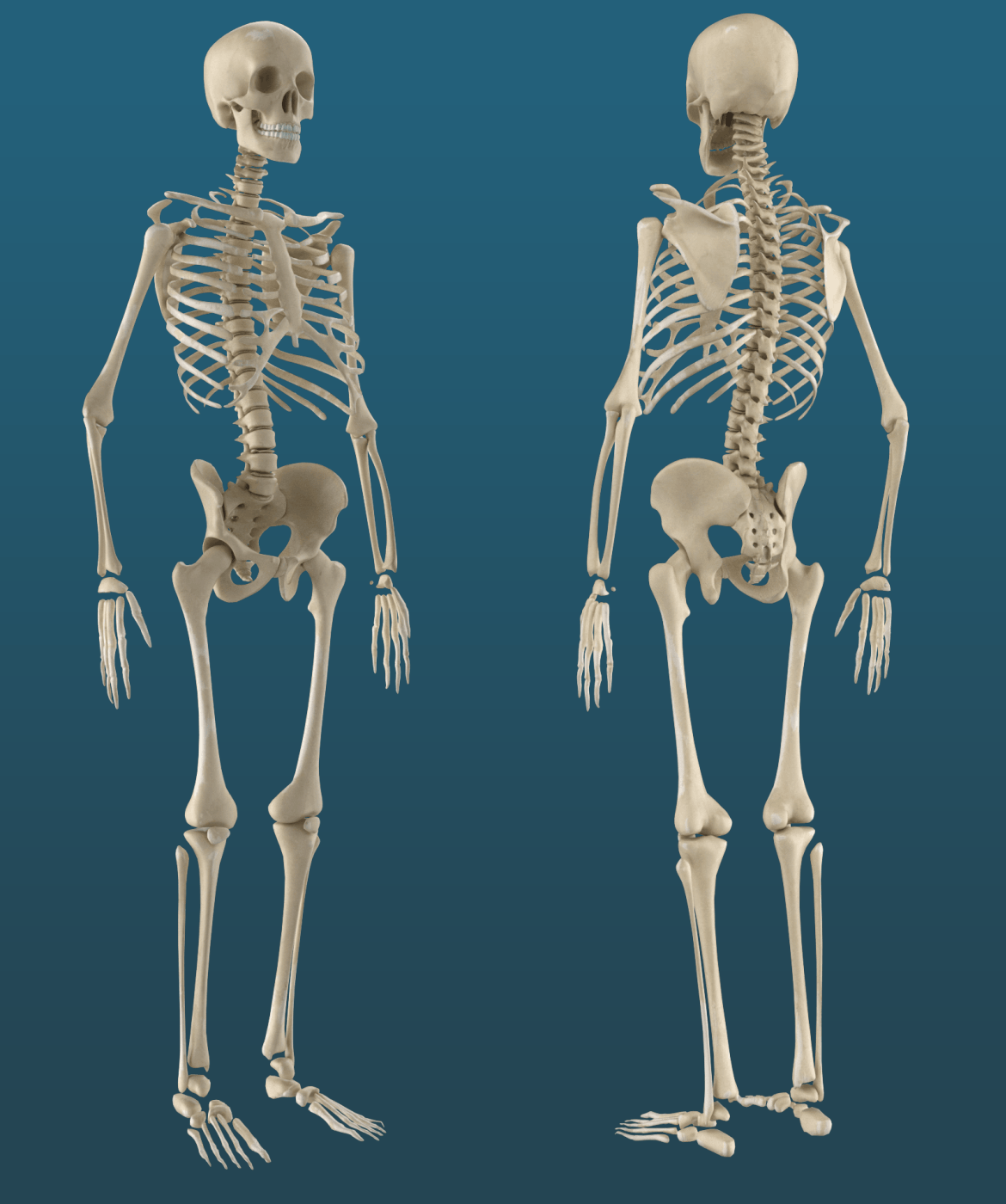 Textured Human Skeleton 3D Model